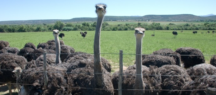 ostrich farm in the western cape