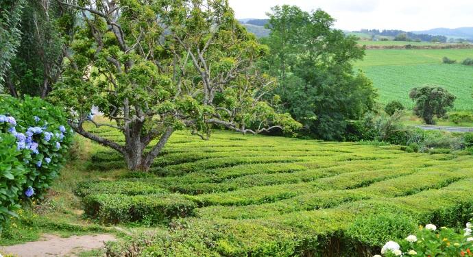 Tea from Sao Miguel_Gorreana_ATA