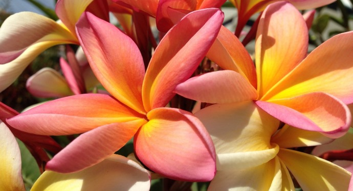 plumeria tricolor flower_madeira_family friendly_portugal
