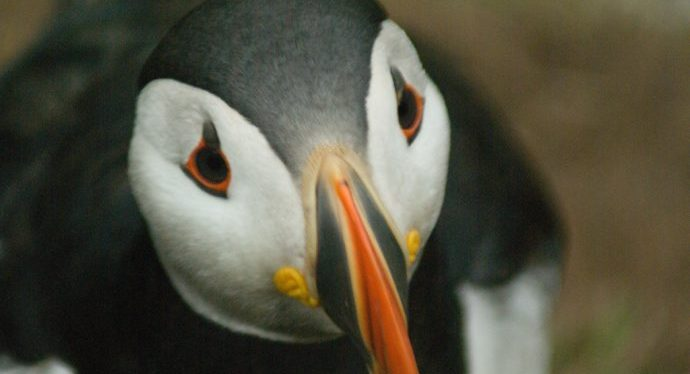 5 things wales_puffin
