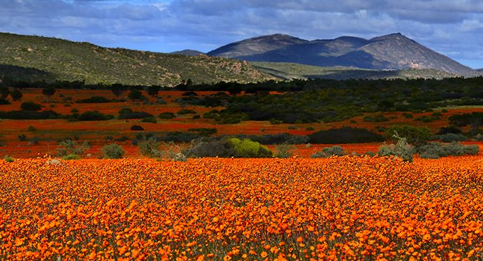 flowers_south africa