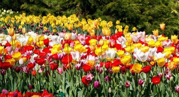flowers_netherlands
